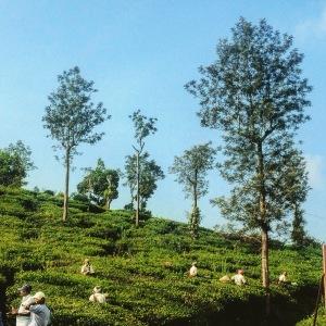 Kerala Thekkady Tea Plantations