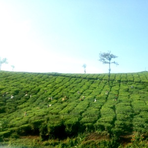 Thekkady Tea Plantations