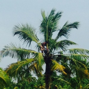 Kerala Toddy Palm Wine