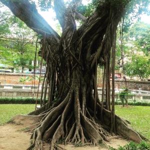 Hanoi Banyan Tree